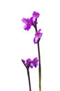 Green-winged Orchid - Orchis morio Royalty Free Stock Photo