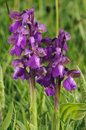 Green winged orchids orchid anacamptis morio two flower spikes Royalty Free Stock Image