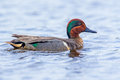 Green winged teal adult male in breeding plumage swimming in pond Royalty Free Stock Photos