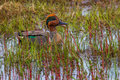 Green winged teal adult male in breeding plumage swimming among reeds Stock Photography