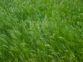 Green wire grass texture Royalty Free Stock Image