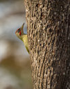 Green Woodpecker Stock Photo