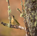 Green Woodpecker Stock Photos
