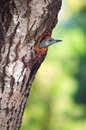 Green woodpecker chick picus viridis protruding out of its nest hole in a tree trunk Stock Photography