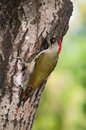 Green woodpecker female picus viridis on a tree trunk Stock Photos