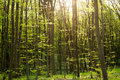 Green woods in sunshine, background of  forest nature Royalty Free Stock Photo