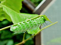 Green worm are clamber on branch for eat to leaf Royalty Free Stock Images