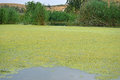 Green and yellow algea a pond almost covered in algae weed Stock Image