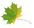 Green and yellow autumn maple leaf isolated on white background Royalty Free Stock Photo