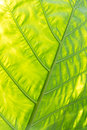 Green with yellow Caladium leaf2 Stock Photos