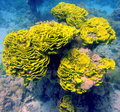 Green yellow coral reef of red sea underwater flora and fauna Stock Photos