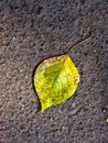Green-yellow leaf on asphalt Royalty Free Stock Photography
