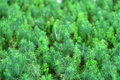 Green yew hence in details Stock Photo