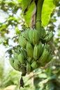 Green young banana Stock Image
