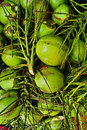 Green young coconuts closeup from tree Royalty Free Stock Images