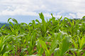 Green young corn in farm Royalty Free Stock Photo