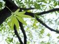 Zelený mladý listy z tropický rastlina, drevo diabol strom
