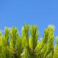 Green young pine brunch on blue sky background Stock Image