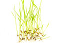 Green young rice plant white background Royalty Free Stock Photography