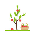 Green young tree with growing red apples Royalty Free Stock Photo