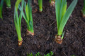 Green young tulip plant with bulbs in soil Royalty Free Stock Photo