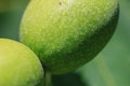 Green young walnut fruits juglans regia l persian english Royalty Free Stock Image