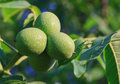 Green young walnut fruits juglans regia l persian english Royalty Free Stock Photography