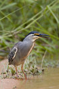 Greenbacked Heron Royalty Free Stock Photography