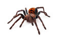 Greenbottle Blue Tarantula Front View Royalty Free Stock Photo