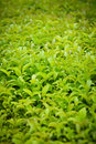 Greenery close up view of Royalty Free Stock Photo