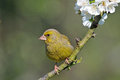 Greenfinch Stockbilder