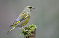 Greenfinch Lizenzfreies Stockfoto