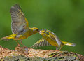 Greenfinch aggressive attitude two males are fighting for territory in front of the photography hide in bulgaria Royalty Free Stock Images