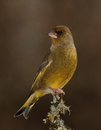 Greenfinch Bird.