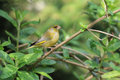 Greenfinch on a branch Royalty Free Stock Photo