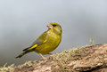 Greenfinch on a branch sits Royalty Free Stock Images