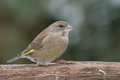 Greenfinch on a branch is sitting Royalty Free Stock Photo