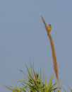 Greenfinch on cane flowers Royalty Free Stock Photo