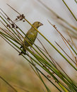 A greenfinch on the reed carduelis chloris perches thin and unstable twigs of plant Stock Images