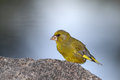 Greenfinch on rock resting top of Stock Photos
