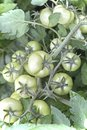 Ripening green tomatoes on the branch of a Bush. Royalty Free Stock Photo