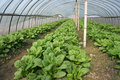 Greenhouse cultivation Stock Photos