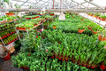 Greenhouse full of flowers. Royalty Free Stock Photo