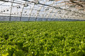 Greenhouse lettuce Royalty Free Stock Photography