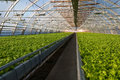 Greenhouse lettuce covered with two beds of Royalty Free Stock Photography