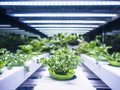 Greenhouse Plant row Grow with LED Light Indoor Farm Agriculture Royalty Free Stock Photo