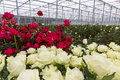 Greenhouse red and white roses Royalty Free Stock Photo