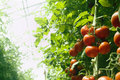 Greenhouse tomatoes Stock Photo