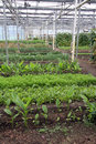 Greenhouse Vegetables Royalty Free Stock Photo