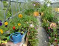 Greenhouse with vegetables, sunflowers, petunia in pots and watering can in the summer Royalty Free Stock Photo